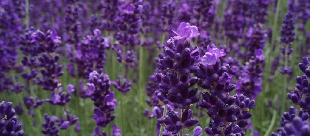 flickr-lavendel-1024×450