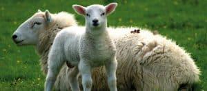 Gesünderen Schlaf dank bio-aktiver Schafschurwolle